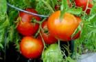 Сорт томата: Атлант