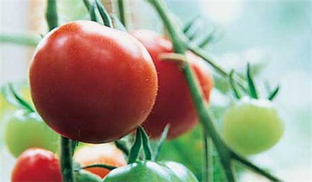 Сорт томата: Ажлун f1