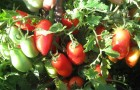 Сорт томата: Бабушкино счастье f1