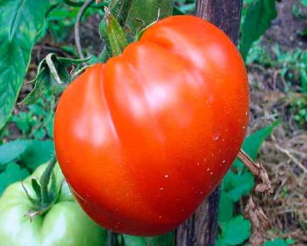 Сорт томата: Бакшиш   f1