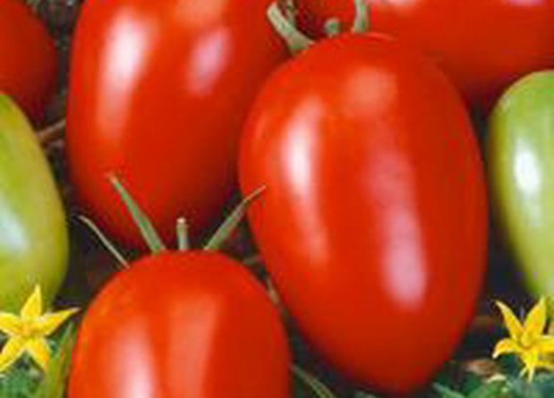Сорт томата: Балатон