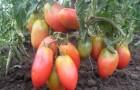 Сорт томата: Балеринка
