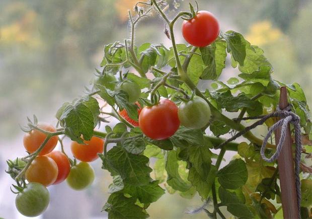 Сорт томата: Балконное чудо