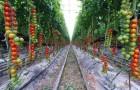 Сорт томата: Бастион f1
