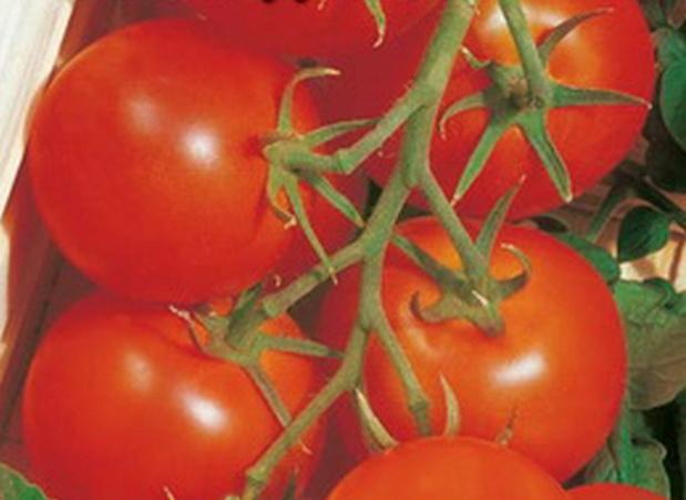 Сорт томата: Баядерка   f1