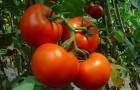 Сорт томата: Белогорская сливка