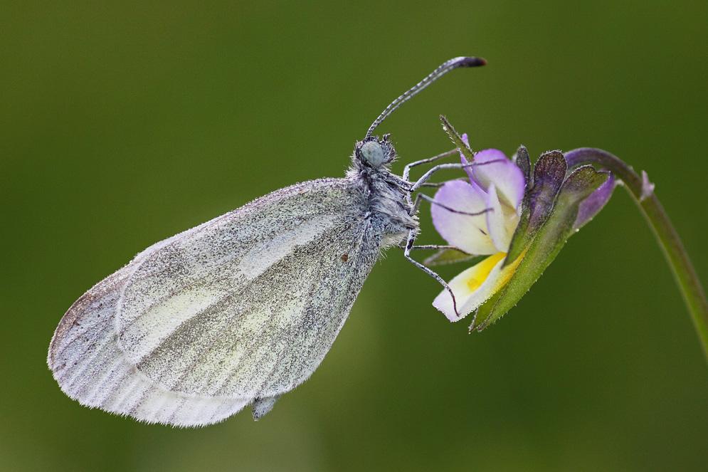 Беляночка горошковая амурская