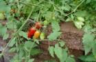 Сорт томата: Бисер
