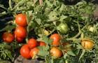 Сорт томата: Бобкат f1