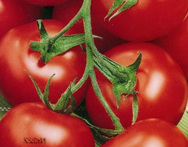 Сорт томата: Бочонок   f1