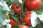 Сорт томата: Бодерин f1