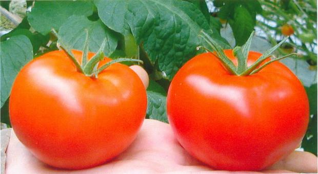 Сорт томата: Богота   f1