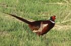 Болезнь фазанов – Анемия