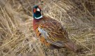 Болезнь фазанов – Аспергиллез