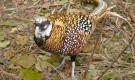 Болезнь фазанов – Болезнь марека