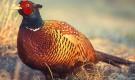 Болезнь фазанов – Чесотка (кнемидокоптоз)
