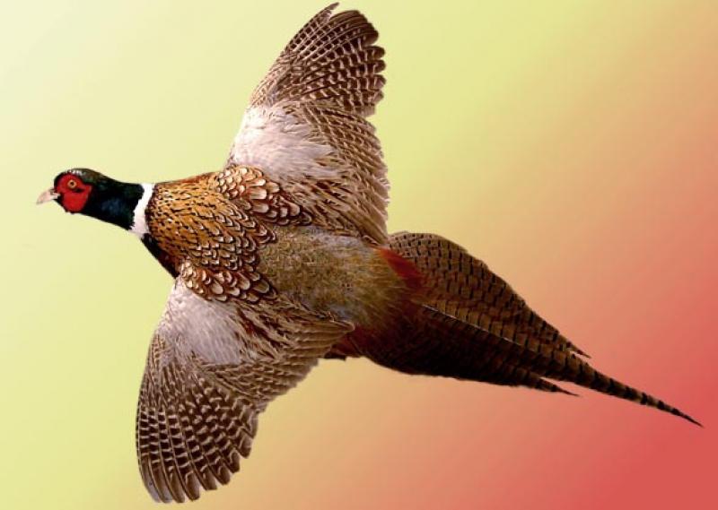 Болезнь фазанов – Гексаметиазис