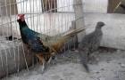 Болезнь фазанов – Гельминтозы