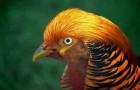 Болезнь фазанов – Гепатит (воспалений печени)