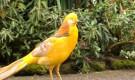 Болезнь фазанов – Инфекционный ларинготрахеит