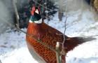 Болезнь фазанов – Клещевое поражение органов дыхания
