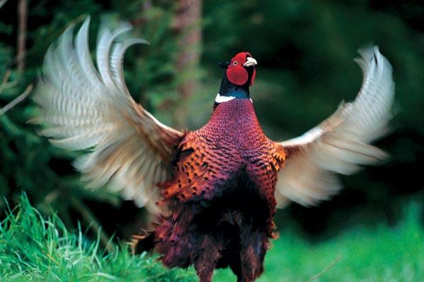 Болезнь фазанов – Кокковая инфекция