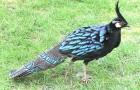 Болезнь фазанов – Кокцидиоз (эймериоз)