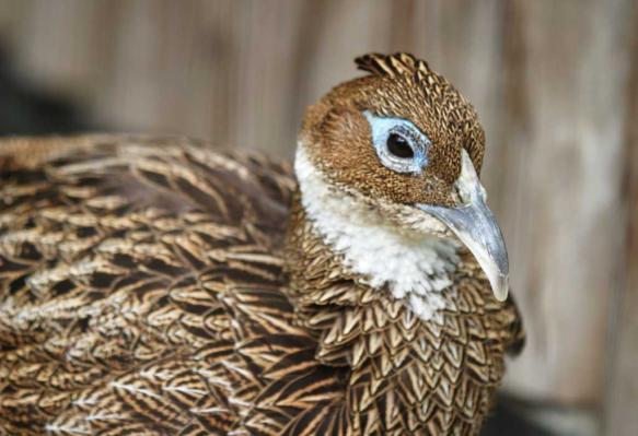 Болезнь фазанов – Колиинфекция
