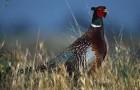 Болезнь фазанов – Кровоизлияния при ушибах