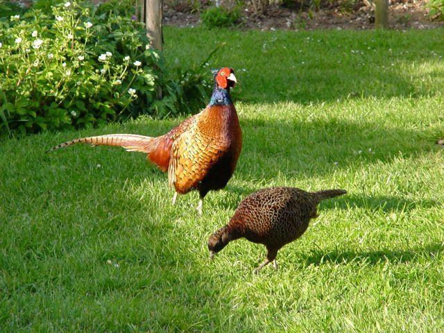 Болезнь фазанов – Нарушения обмена веществ