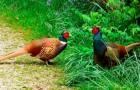Болезнь фазанов – Насморк