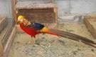Болезнь фазанов – Недостаточность ниацина