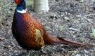 Болезнь фазанов – Недостаточность пантотеновой кислоты