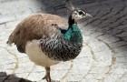 Болезнь фазанов – Недостаточность витамина В12