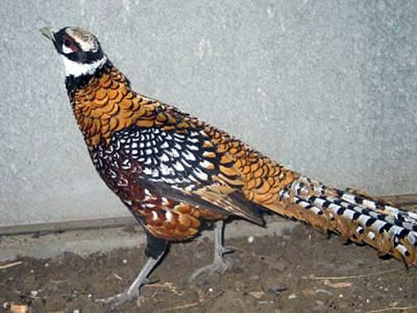 Болезнь фазанов – Недостаток макро- и микроэлементов