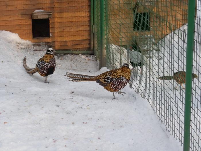 Болезнь фазанов – Обморожения
