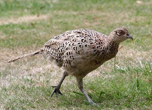 Болезнь фазанов – Опухоли (липомы)