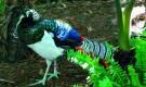Болезнь фазанов – Отравление зерновым кормом