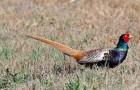 Болезнь фазанов – Paсклев (каннибализм)