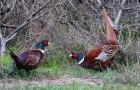 Болезнь фазанов – Псевдочума