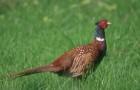 Болезнь фазанов – Туберкулез