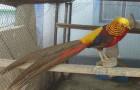 Болезнь фазанов – Задержка яйцекладки