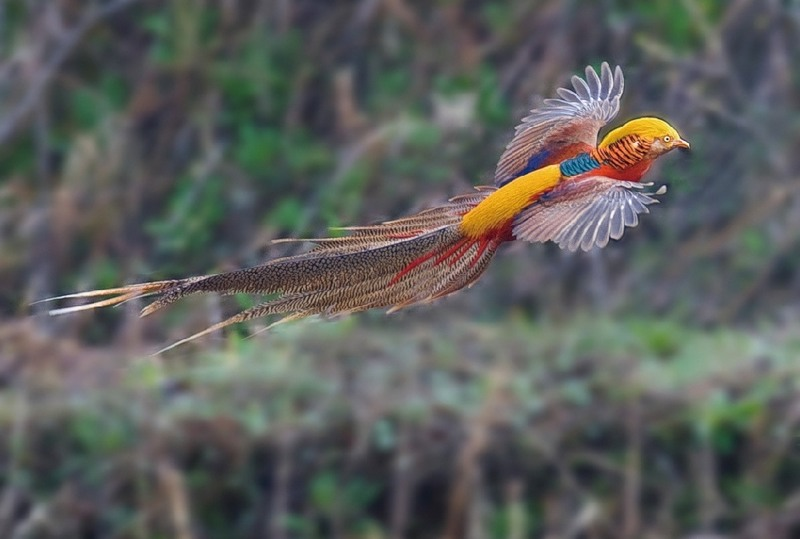 Болезнь фазанов – Засорение зоба