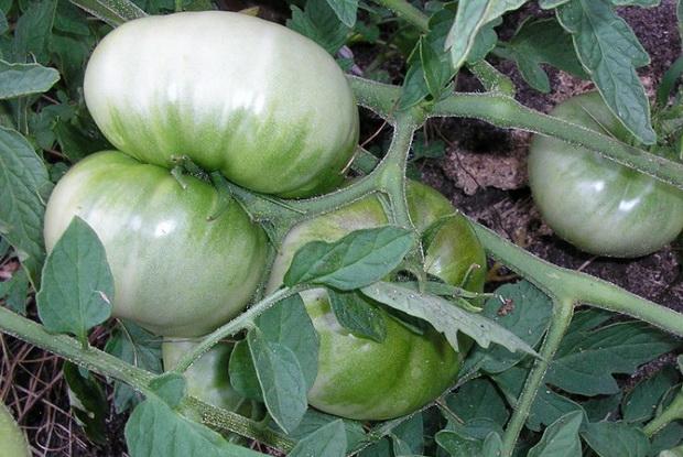 Сорт томата: Болото