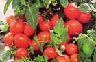 Сорт томата: Бонсай