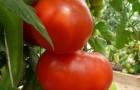 Сорт томата: Боярин f1