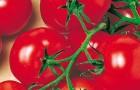 Сорт томата: Божья коровка