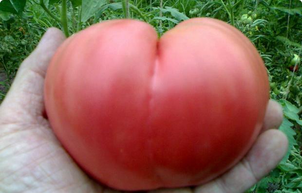 Сорт томата: Бычье сердце розовое