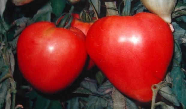 Сорт томата: Бычье сердце