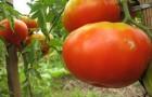Сорт томата: Бычий лоб
